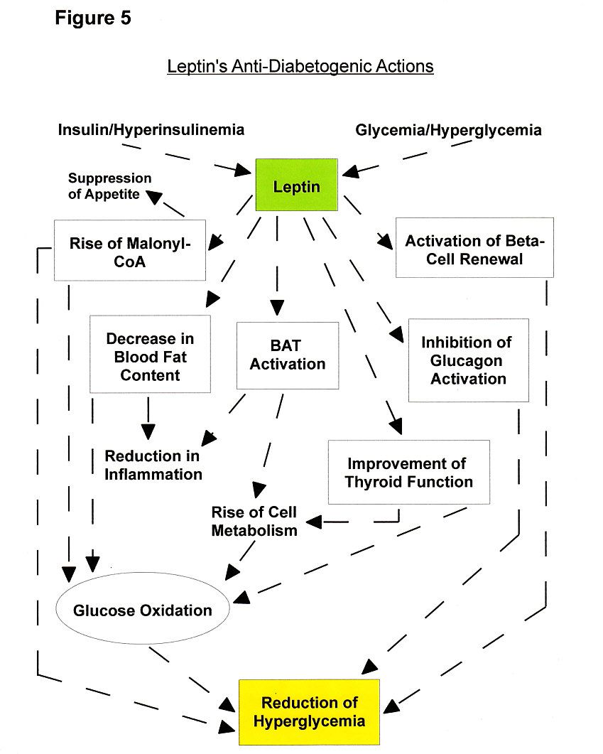 Figure 5a: The Role Of The Leptin Hormone And Its Benefits For Diabetics