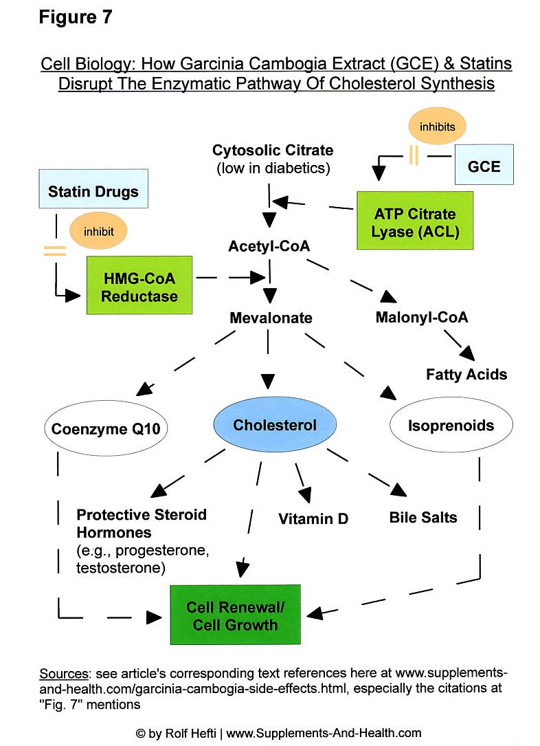 Figure 7: Garcinia Cambogia Side Effects & Statins' Side Effects - Inhibition Of The Enzymatic Pathway Of Cholesterol Production
